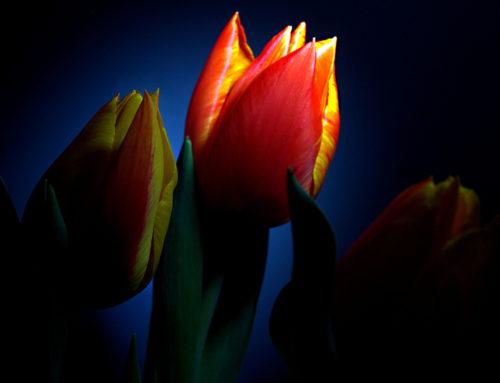 C'era una volta un Tulipano